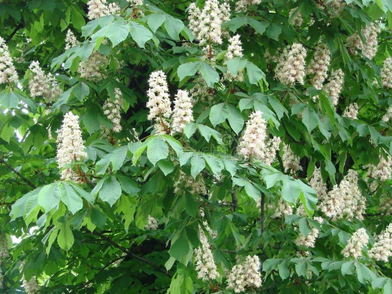 Flowering chestnut horse. White bunches of chestnut flowers on blue sky background. Ukraine royalty free stock photo