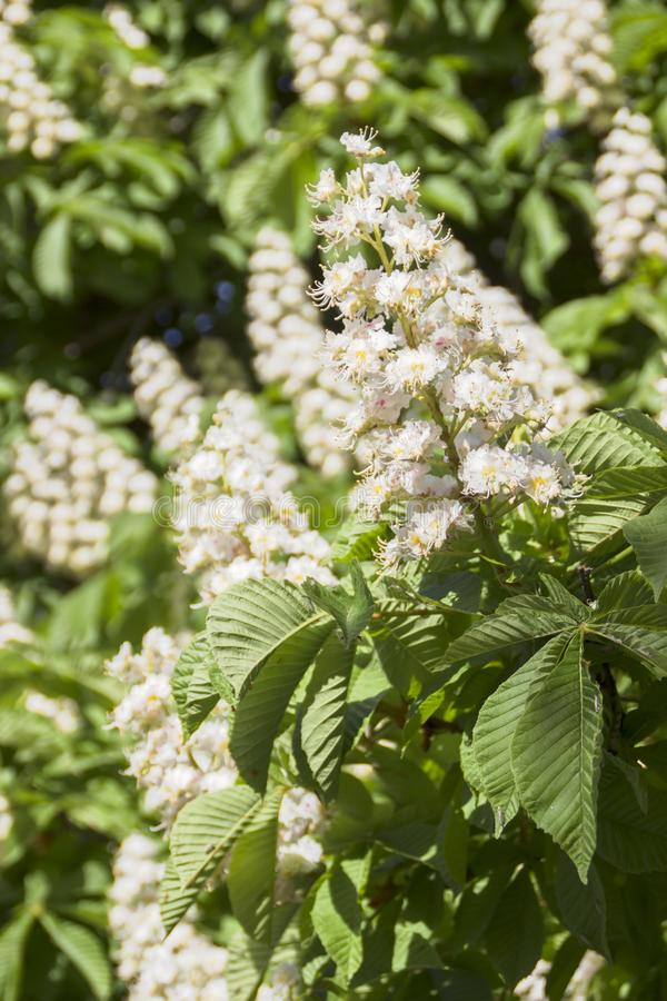 Flowering chestnut horse. White bunches of chestnut flowers on blue sky background royalty free stock photography