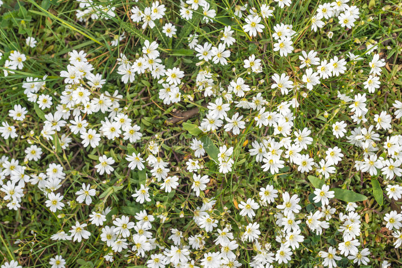 Flowering Chickweed in wild nature. White blooming Chickweed or Cerastium arvense in its natural habitat between grasses royalty free stock photo