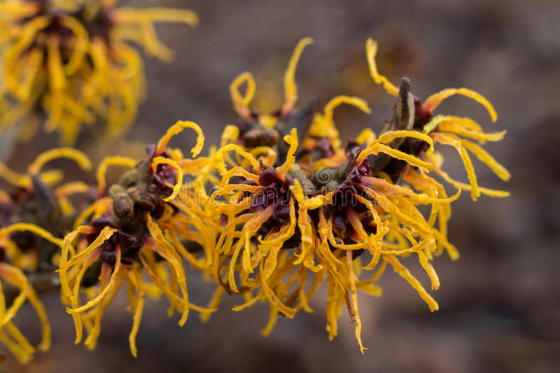 Flowering Chinese witch hazel royalty free stock images