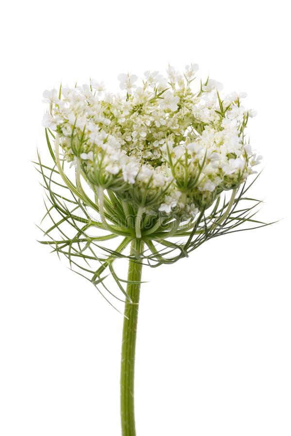 Flowering of cilantro. Branch of plant isolated stock photography