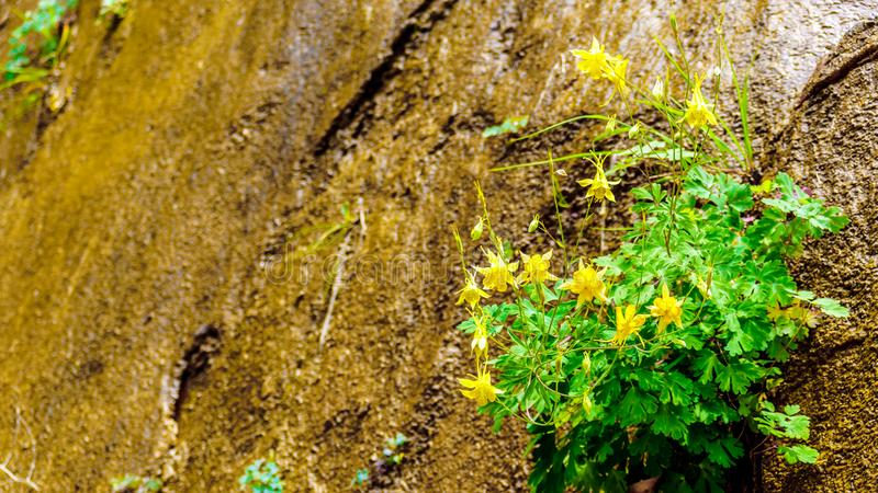 The Hanging Gardens on the Sandstone Mountains in Zion National Park, Utah, USA. Flowering Columbine plants in the Hanging Gardens on the Sandstone Mountains on royalty free stock images