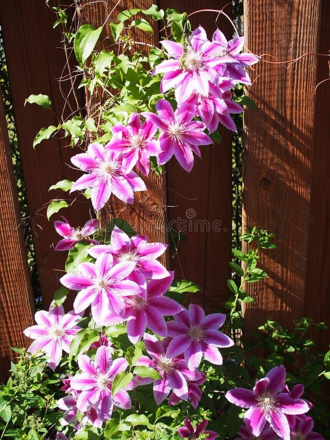 download flowering clematis vine stock image image of beautiful
