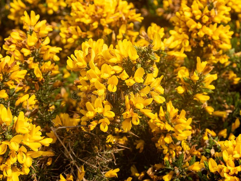 Close up photo of a gorse bush covered in yellow flowers stock image flowering common gorse ulex europaeus a spiky thorn covered plant with bright yellow flowers bush mightylinksfo