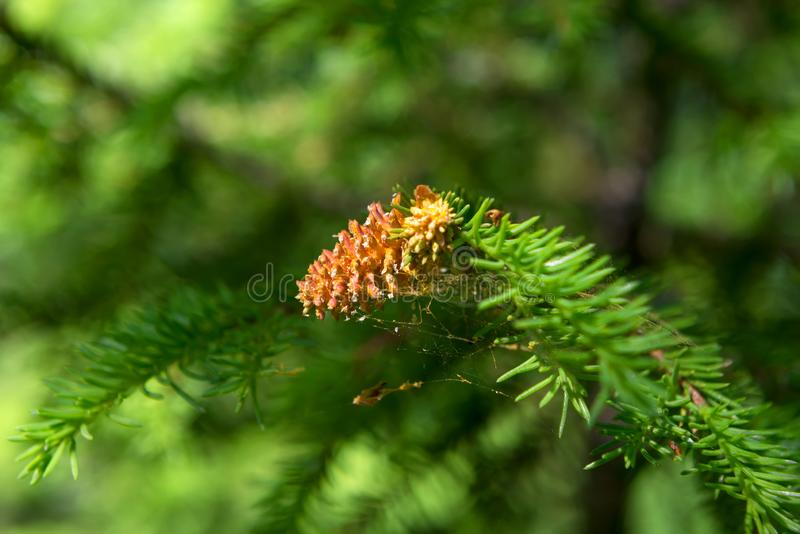 Flowering conifers. In the forest royalty free stock photography