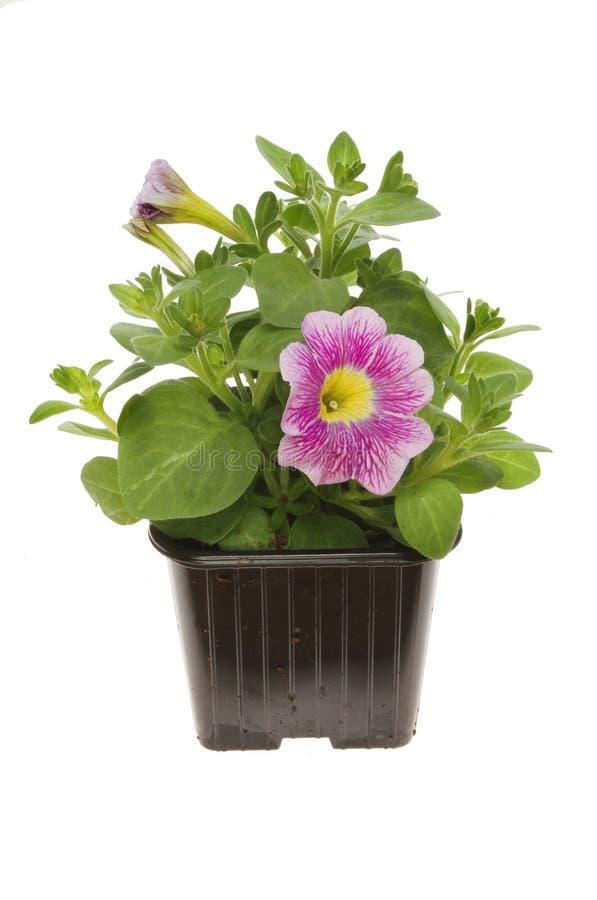 Free Flowering Convolvulus Plant Stock Image - 74956161