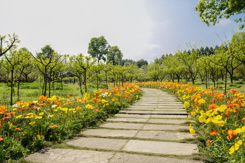 Flowering corn poppies along flagstone path at sunny spring noon. Flowering corn poppies along flagstone pavment at sunny spring noon,Chengdu,China royalty free stock photos