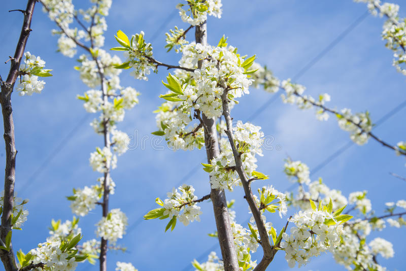 Flowering Crabapple home. The Apple tree blooms white flowers. stock image