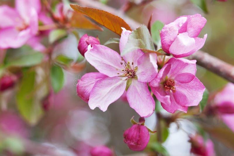Flowering Crabapple Tree Blossoms. Fresh Flowering Crabapple Tree blossom macro stock image