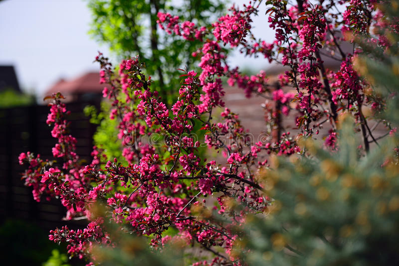 Flowering crabapple wild apple malus blooms. royalty free stock photos