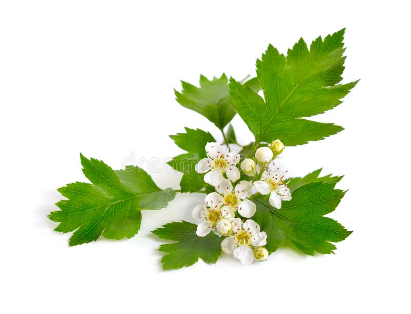 Flowering Crataegus, commonly called hawthorn, quickthorn, thornapple May-tree whitethorn or hawberry. Isolated on white royalty free stock image