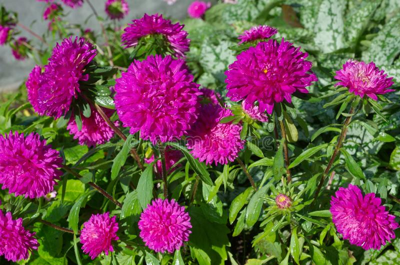 Flowering crimson asters royalty free stock images