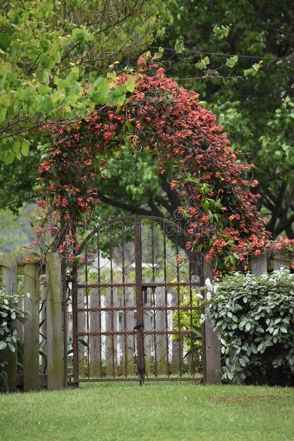 Gate and Crossvine on a East Texas Fence. Flowering Crossvine on a fence and fence post in East Texas stock images