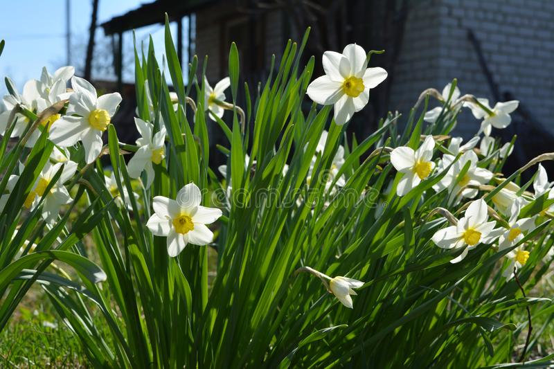 Flowering daffodils Narcissus on the background of old country house royalty free stock photography