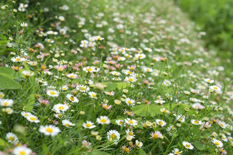 Flowering of daisies. Oxeye daisy, Leucanthemum vulgare, Daisies, Dox-eye, Moon daisy,Common daisy, Dog daisy. Flower concept in t. He garden royalty free stock photos