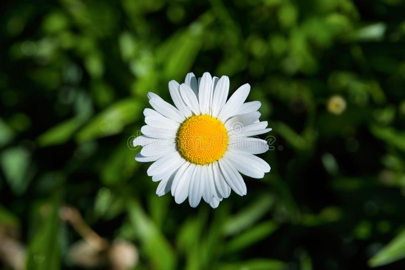 White daisy. Bright white daisy with a yellow heart on a blurred green background. The soft blurry focus stock photography
