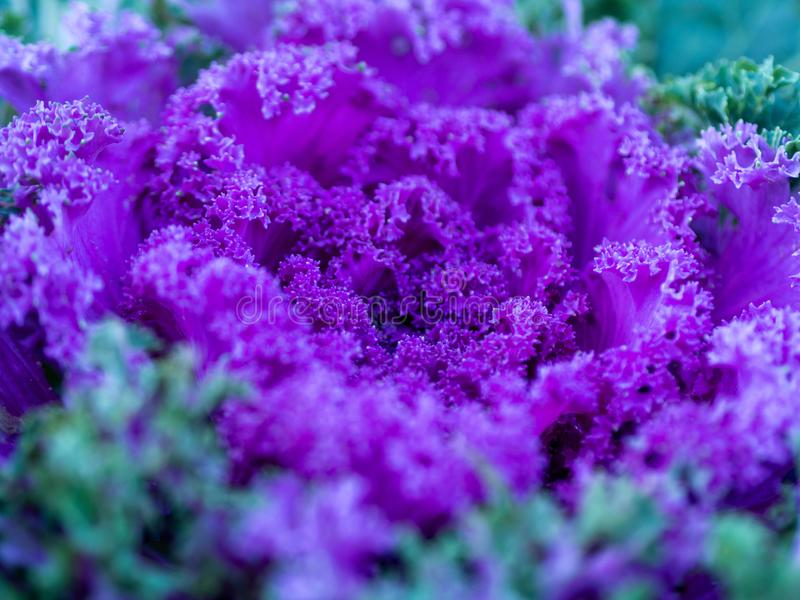 Flowering decorative purple-pink cabbage plant in garden. Ornamental cabbages. Winter flowers. Coloured leaves of ornamental cabbage. Crimson decorative stock photo