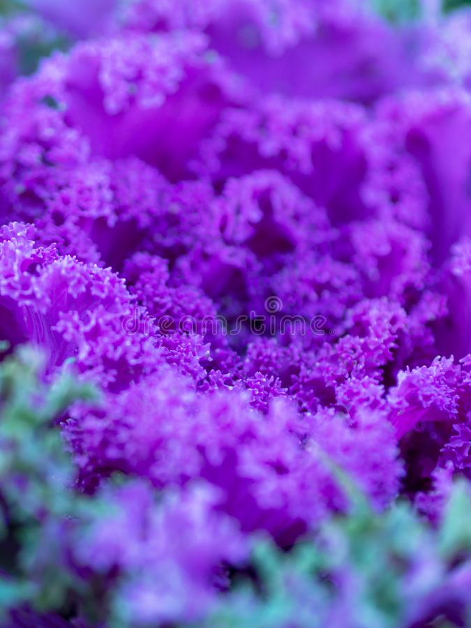 Flowering decorative purple-pink cabbage plant in garden. Ornamental cabbages. Winter flowers. Coloured leaves of ornamental cabba royalty free stock photo