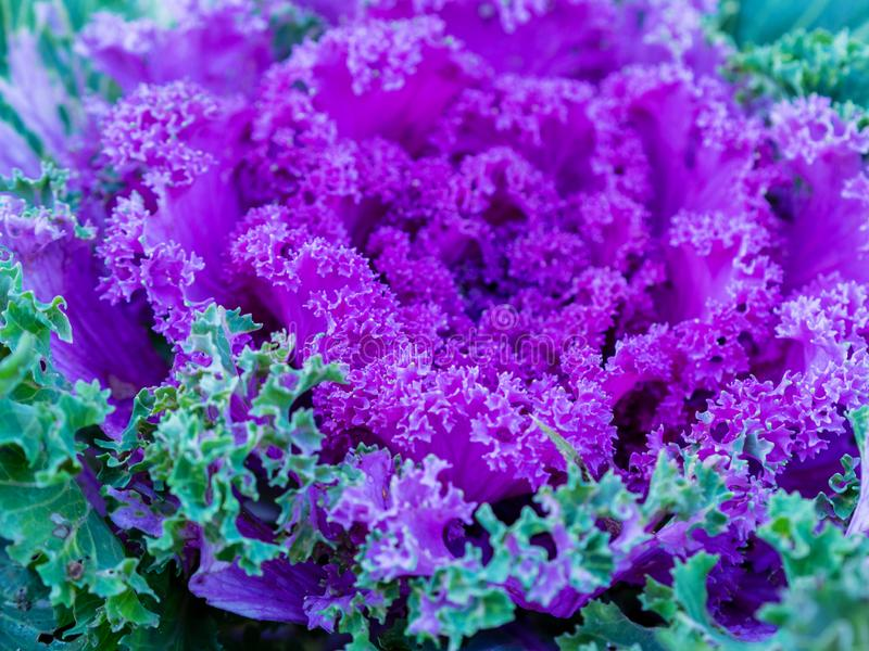 Flowering decorative purple-pink cabbage plant in garden. Ornamental cabbages. Winter flowers. Coloured leaves of ornamental cabbage. Crimson decorative stock photography