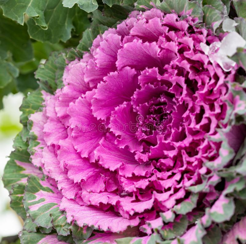 Flowering decorative purple-pink cabbage plant. Ornamental kale. Natural vivid background. Ornamental cabbages. Winter flowers. Coloured leaves of ornamental stock photo