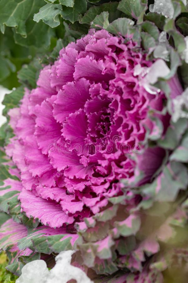 Flowering decorative purple-pink cabbage plant. Ornamental kale. Natural vivid background. Ornamental cabbages. Winter flowers. Coloured leaves of ornamental stock images