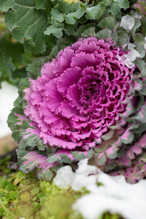 Flowering decorative purple-pink cabbage plant. Ornamental kale. Natural vivid background. Ornamental cabbages. Winter flowers. Coloured leaves of ornamental stock photos
