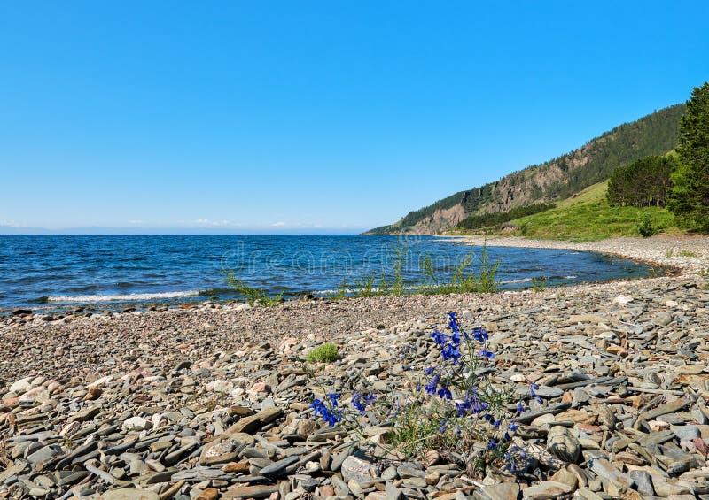 Flowering Delphinium grandiflorum on Baikal stock image
