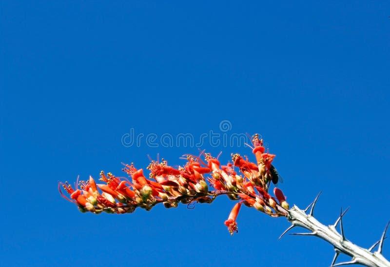 Flowering Desert tree, Ocotillo. Red flowers of desert tree, Ocotillo are in bloom under blue sky at Saguaro National Park royalty free stock photos