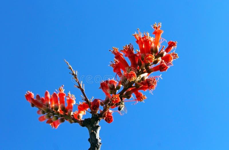 Flowering Desert tree, Ocotillo. Red flowers of desert tree, Ocotillo are in bloom under blue sky at Saguaro National Park stock images