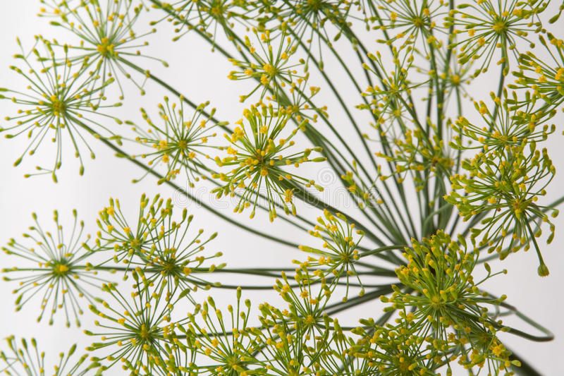 Flowering dill royalty free stock photography
