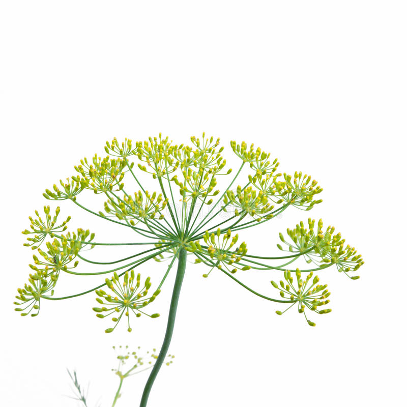 Download Flowering Dill (anethum Graveolens) Stock Image - Image: 33600833