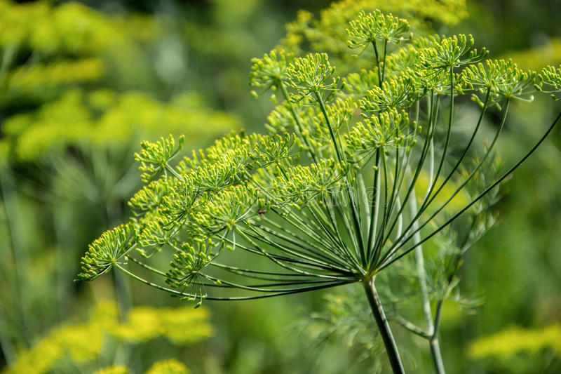 Flowering dill herbs plant in the garden Anethum graveolens. Close up of fennel flowers.  stock photo