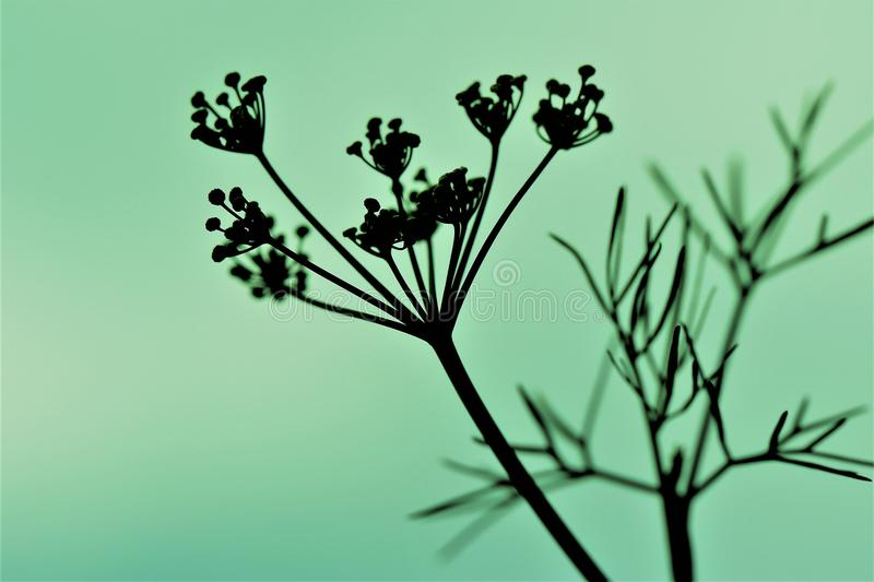 Flowering Dill Silhouetted against a Green Background stock image