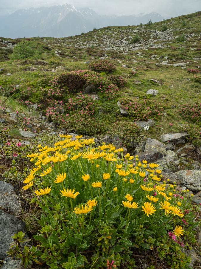 Flowering Doronicum in the Alpine landscape stock photos