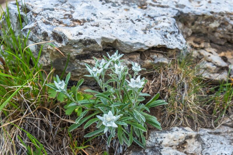 Flowering Edelweiss flowers in the alps stock images
