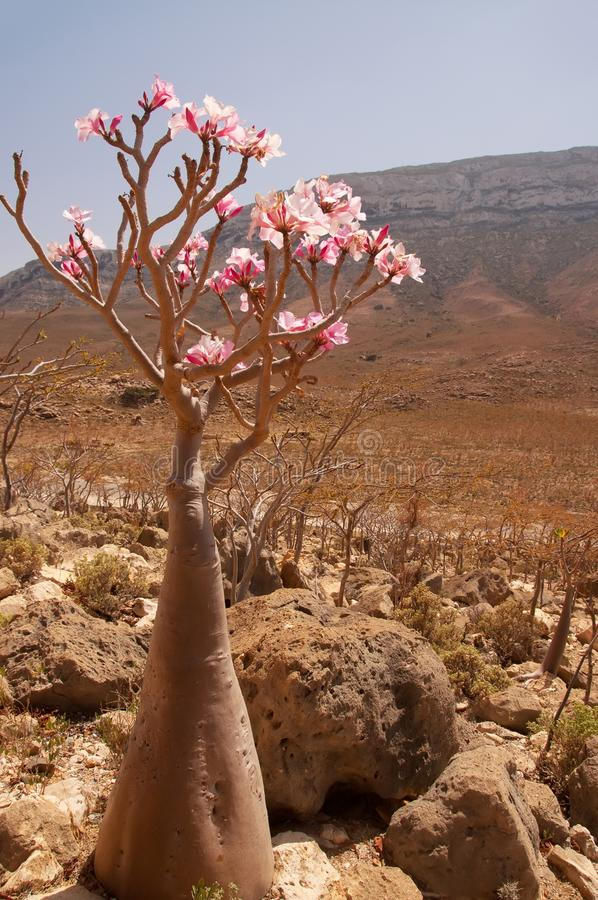 A flowering endemic bottle tree in a valley among mountains. island of Socotra. Amazing plants of the planet. stock photography