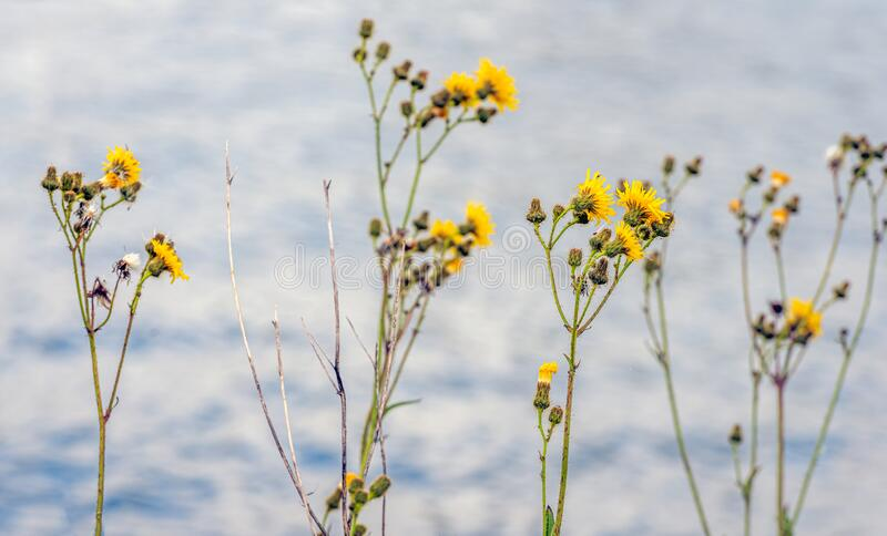 Flowering field milk thistle at the water`s edge stock photo