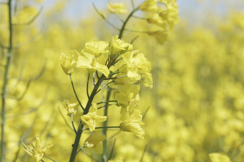 Flowering field of rapeseed canola or colza. Flowering field of rapeseed canola or colza, plant for green energy and oil industry. Spring time on Spain stock photo