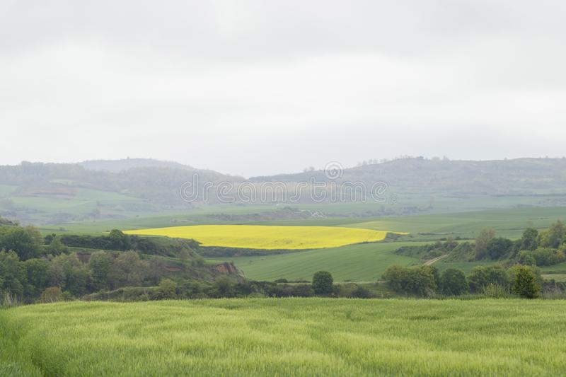Flowering field of rapeseed canola or colza. Flowering field of rapeseed canola or colza, plant for green energy and oil industry. Spring time on Spain royalty free stock images