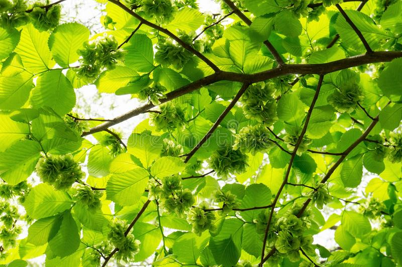 Flowering forest hazel stock photo