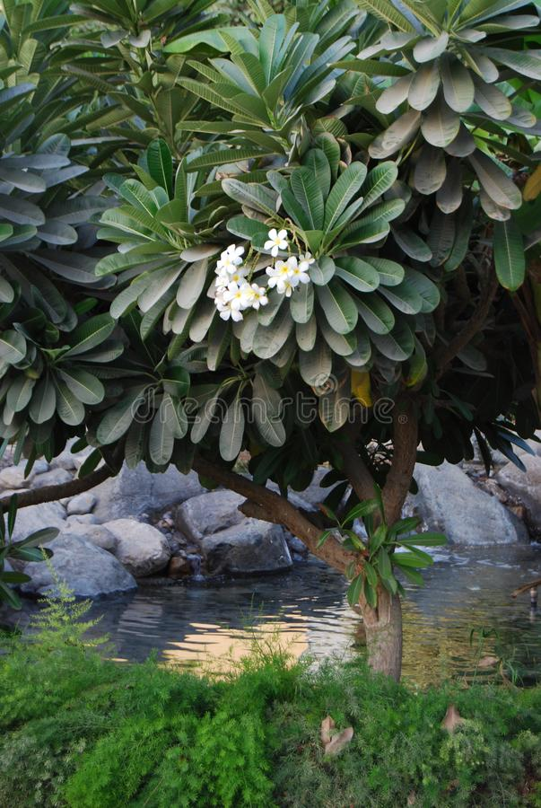 Flowering Frangipani Tree. Plumeria Rubra standing by a pool and rocks. Called Champa in India. Serene natural atmosphere, a little intimate, like a trysting royalty free stock image