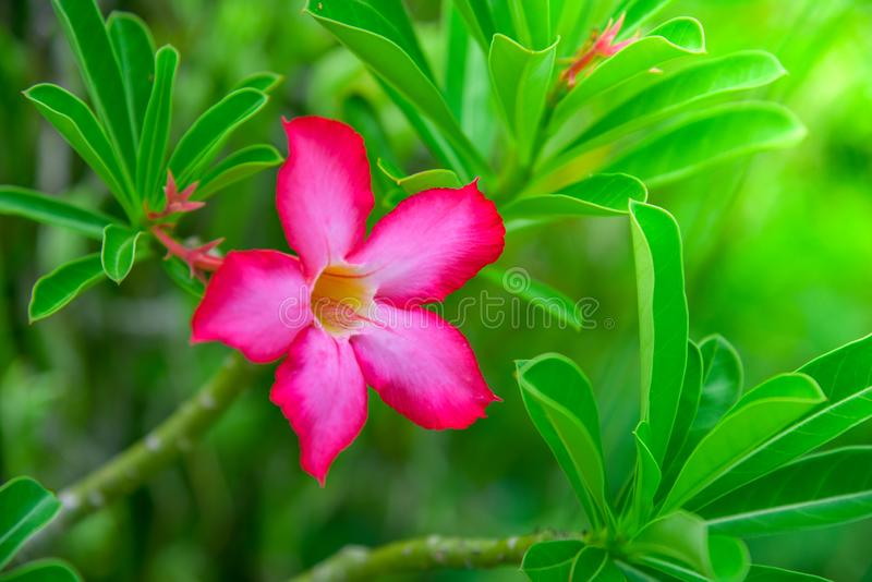 Flowering frangipani used in spa shops In blurred style for background, banner or card And the spring landscape of Leelawadee. Flowers Colorful spring flowers royalty free stock photos