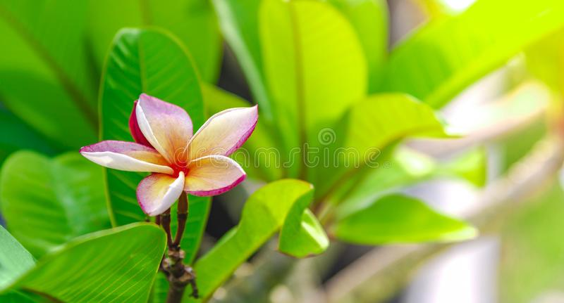 Flowering frangipani used in spa shops In blurred style for background, banner or card And the spring landscape of Leelawadee. Flowering frangipani  used in spa royalty free stock photos