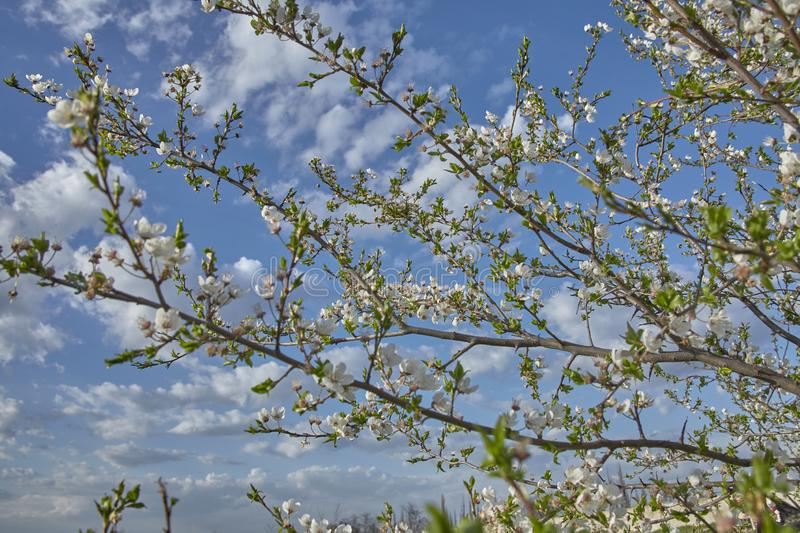 Flowering fruit tree in windy April stock photography