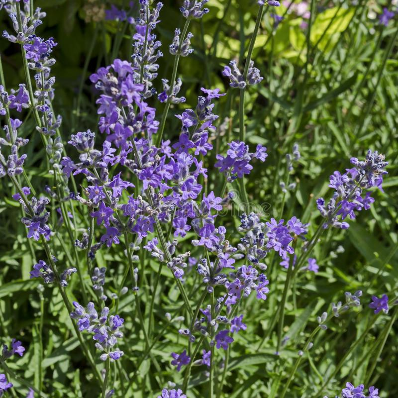 Flowering garden with lavender or Lavandula officinalis flower in bloom close up royalty free stock image
