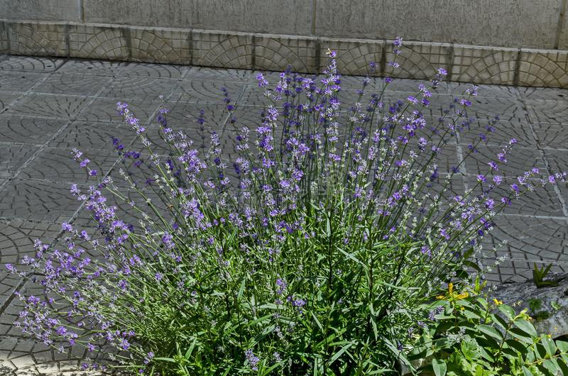 Flowering garden with lavender or Lavandula officinalis flower in bloom close up royalty free stock photo