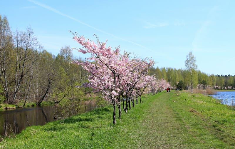 Flowering Garden. In Turi city (Estonia). Turi is the spring capital of Estonia stock photo
