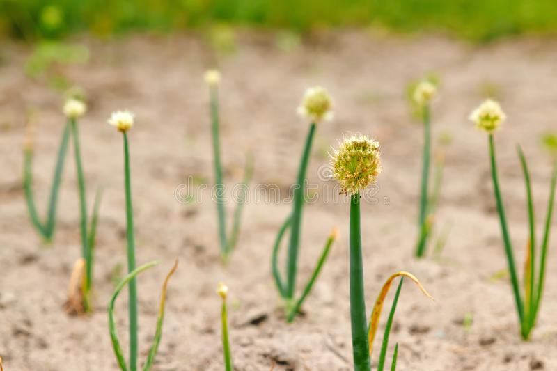 Flowering garlic. Closeup. green, natural background, floral background royalty free stock images