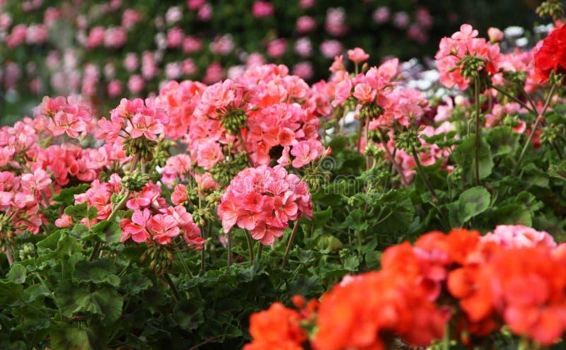 Download Flowering geranium stock photo. Image of flower, blooming - 85321584