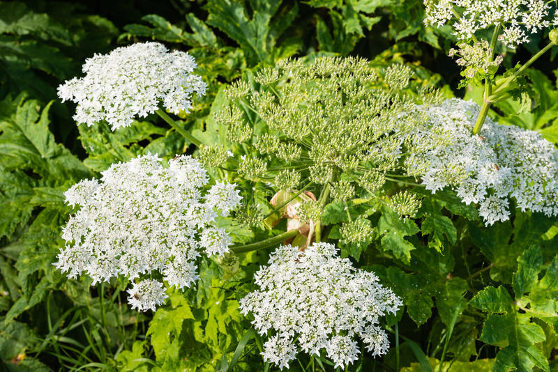 Flowering giant hogweed from close. Closeup of a white blooming Giant Hogweed or Heracleum mantegazzianum plant and its seed heads royalty free stock image